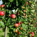 E. coli Outbreak Associated with Louisburg Cider Mill Ciderfest in Kansas