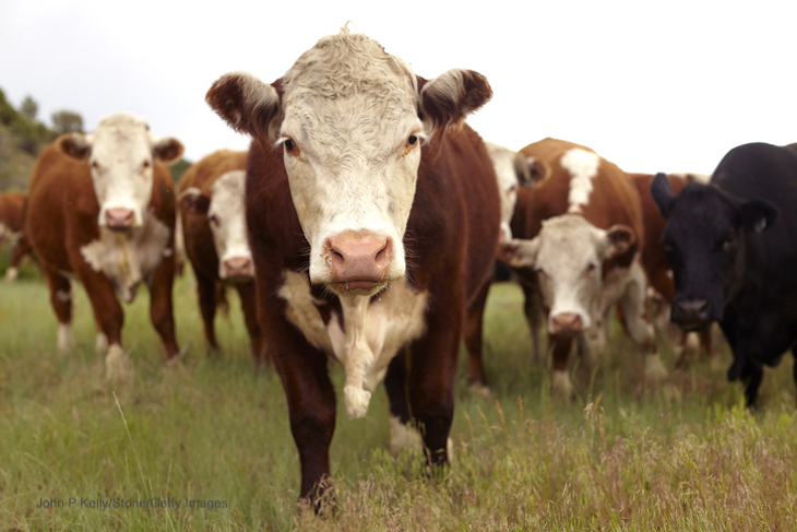 Study Finds Cow Manure Contaminates Wells and Causes Illness in WI