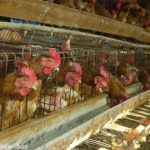 FOIA Request Reveals Food Safety Violations at Foster Farms