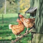 "Avian Flu in Canada ""Highly Pathogenic"""