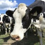 Study Finds COOL Labels Haven't Affected Livestock Exports