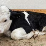 Legislators Urge USDA to Ban Downer Calf Slaughter