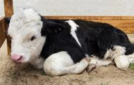 Salmonella Outbreak Linked to Contact with Dairy Calves