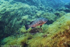 Grouper on Reef