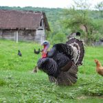 Avian Influenza Discovered in Minnesota Turkey Flock