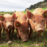 Factory Farming Increases the Risk of Pandemic Development