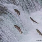 Senate Amendment Requires Mandatory Labeling of GE Salmon