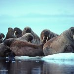Trichinellosis Outbreaks in Alaska Linked to Walrus Meat