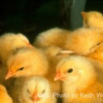 Salmonella from Live Poultry Linked to Four Outbreaks