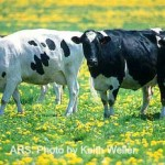cows-grazing-ars