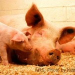 Piglets Fed to their Mothers at Iron Maiden Hog Farm in KY