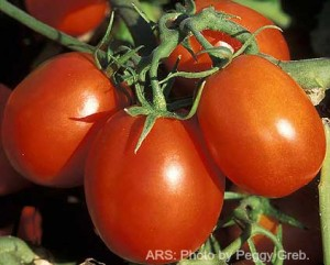tomatoes-in-field-ars
