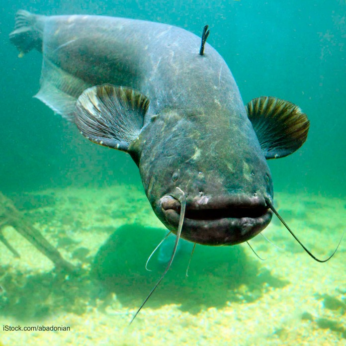 Catfish in Water