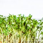 FDA Info on Red Clover Sprouts E. coli O103 Outbreak