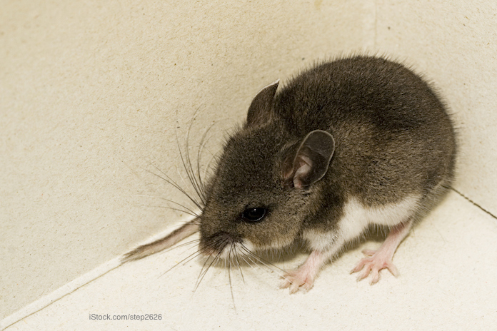 Coronavirus Shutdown Increases Rodent Activity in More Areas