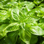 Basil Cyclospora Outbreak is #4 in 2019 Top 10 Multistate Outbreak List