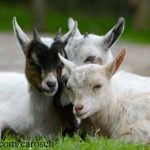 Little-Goats