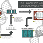 PFGE Explained with CDC Infographic