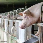 FDA Rescinds Approval of Carbadox to Treat Swine