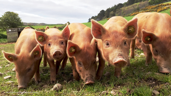 Study Looks at Hepatitis E Contamination in Pigs