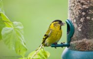 Remove Bird Feeders to Fight Salmonella Outbreak in Birds