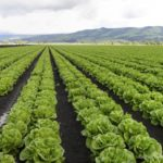 How Common Are E. coli O157:H7 Leafy Greens Outbreaks?