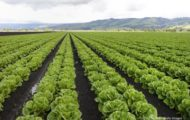 FDA Trying New Romaine Sampling Plan in Yuma, Arizona