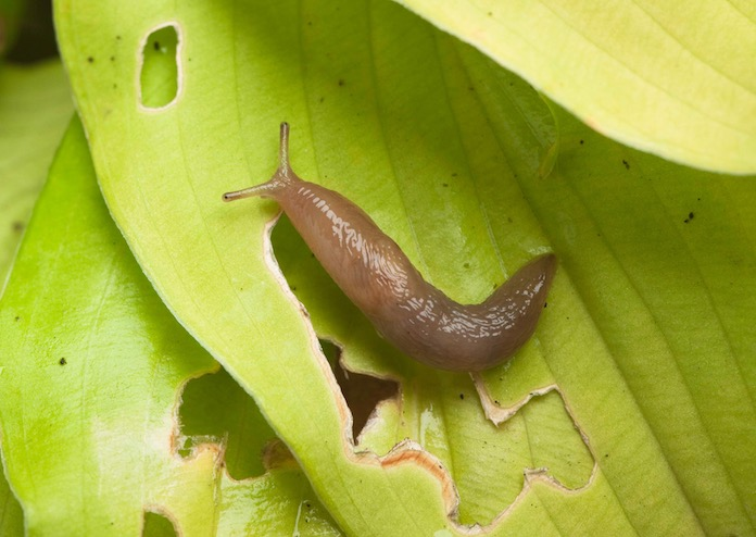 Slug on Leaf