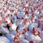 Human Protection Considered as H5N2 Avian Flu Spreads